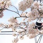 武蔵小杉周辺のお花見、ピクニックスポット ー江川せせらぎ遊歩道〜井田公園編ー