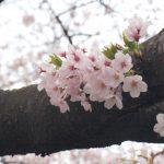武蔵小杉周辺のお花見、ピクニックスポット2017