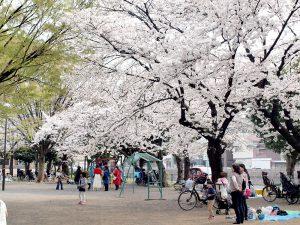井田公園 桜