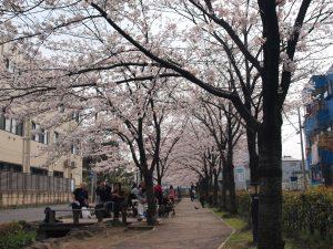 せせらぎ遊歩道 桜