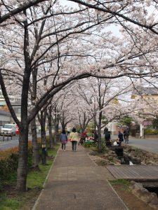 江川せせらぎ遊歩道 桜のプロムナード