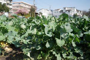 のらぼう菜 畑