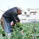 川崎の春野菜、のらぼう農家さんを訪ねて。